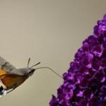 Le farfalle sono fiori che volano, i fiori sono farfalle incatenate